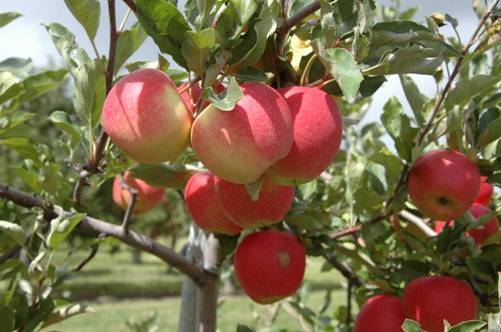 Apple Picking & Fall Farm Fun for Families – Greater Toronto Area
